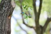 五色鳥在大安!:DPP_0019.JPG