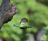 五色鳥生態記錄!102.06.19.:DPP_0046.JPG
