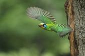 跑去拍五色鳥囉!:DPP_0099.JPG