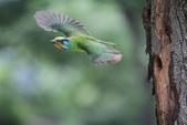 五色鳥飛行版!:DPP_0035.JPG