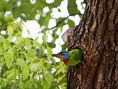 五色鳥又來了 !:IMG_0048.JPG