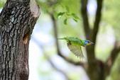 五色鳥在大安!:DPP_0020.JPG