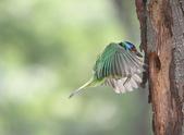 五色鳥飛行版!:DPP_0036.JPG