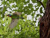 五色鳥又來了 !:IMG_0049.JPG
