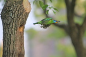 五色鳥在大安!:DPP_0001.JPG