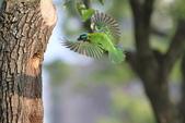 五色鳥在大安!:DPP_0002.JPG