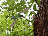 五色鳥又來了 !:IMG_0052.JPG