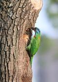 五色鳥在大安!:DPP_0003.JPG