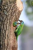 五色鳥在大安!:DPP_0004.JPG