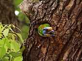 五色鳥又來了 !:IMG_0030.JPG