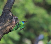 五色鳥生態記錄!102.06.19.:DPP_0002.JPG