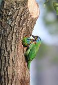 五色鳥在大安!:DPP_0005.JPG