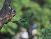 五色鳥生態記錄!102.06.19.:DPP_0003.JPG