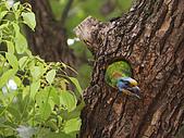 五色鳥又來了 !:IMG_0016.JPG