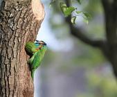 五色鳥在大安!:DPP_0006.JPG