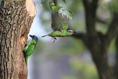 五色鳥在大安!:DPP_0007.JPG