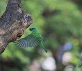 五色鳥生態記錄!102.06.19.:DPP_0004.JPG