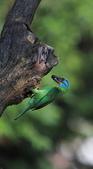 五色鳥生態記錄!102.06.19.:DPP_0006.JPG