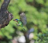 五色鳥生態記錄!102.06.19.:DPP_0014.JPG