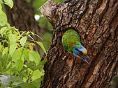 五色鳥又來了 !:IMG_0033.JPG