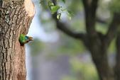 五色鳥在大安!:DPP_0009.JPG