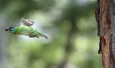 五色鳥飛行版!:DPP_0170.JPG