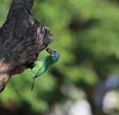 五色鳥生態記錄!102.06.19.:DPP_0015.JPG