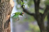 五色鳥在大安!:DPP_0010.JPG