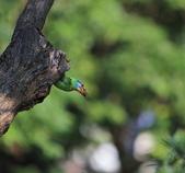 五色鳥生態記錄!102.06.19.:DPP_0024.JPG