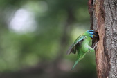 五色鳥飛行版!:DPP_0172.JPG