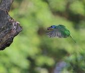 五色鳥生態記錄!102.06.19.:DPP_0025.JPG