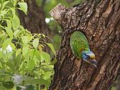 五色鳥又來了 !:IMG_0021.JPG