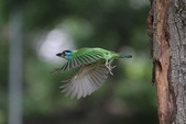 五色鳥飛行版!:DPP_0179.JPG