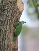 五色鳥在大安!:DPP_0011.JPG