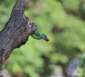 五色鳥生態記錄!102.06.19.:DPP_0029.JPG