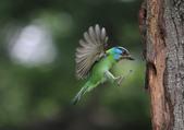 五色鳥飛行版!:DPP_0180.JPG