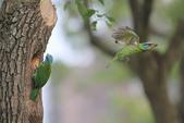 五色鳥在大安!:DPP_0012.JPG