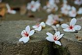 五月雪桐花祭之苗栗三義篇@May'08:DSC_5275-w.jpg