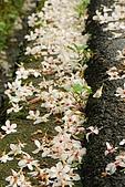 五月雪桐花祭之苗栗造橋篇@May'08:DSC_4881-w.jpg