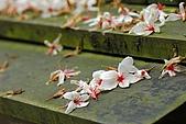 五月雪桐花祭之苗栗造橋篇@May'08:DSC_5110-w.jpg
