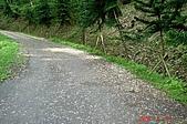 070506-土城賞桐:麗景山莊車道上的落花