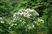 070506-土城賞桐:桐花開的蠻茂密的