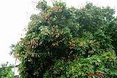 070811-大東山公司旅遊:隔壁的龍眼樹結實累累