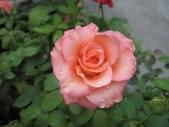 玫瑰花:玫瑰-2 [640x480].jpg