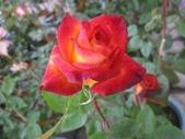 玫瑰花:玫瑰花