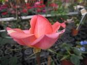 玫瑰花:玫瑰