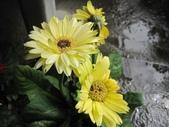 非洲菊:非洲菊-16.JPG