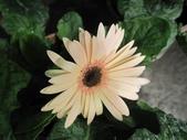 非洲菊:非洲菊-15.JPG