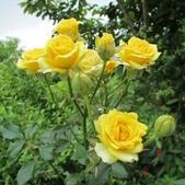 玫瑰花:玫瑰 [640x480].jpg