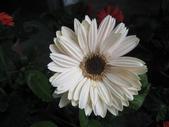非洲菊:非洲菊-9.JPG